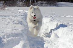 在雪的萨莫耶特人 免版税库存照片