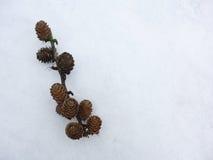 在雪的落叶松属锥体 库存图片