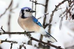 在雪的蓝色尖嘴鸟 库存图片