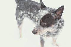 在雪的蓝色Heeler 免版税库存图片