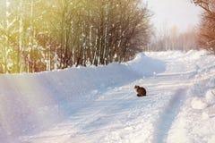 在雪的蓬松灰色猫,坐路在森林里 库存照片