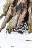 在雪的被察觉的臭鼬 库存图片