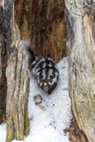 在雪的被察觉的臭鼬 库存照片