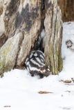 在雪的被察觉的臭鼬 免版税库存图片