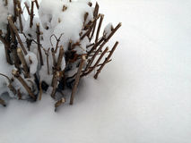 在雪的被截去的灌木 库存照片