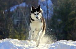在雪的西伯利亚爱斯基摩人小狗 库存图片