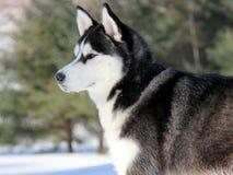 在雪的西伯利亚爱斯基摩人小狗 免版税库存图片