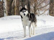 在雪的西伯利亚爱斯基摩人小狗 图库摄影