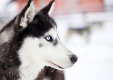 在雪的西伯利亚爱斯基摩人狗 免版税图库摄影