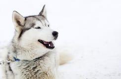 在雪的西伯利亚爱斯基摩人狗 库存照片
