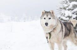 在雪的西伯利亚爱斯基摩人狗 免版税库存照片