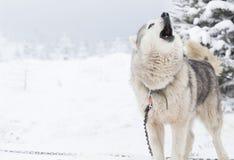 在雪的西伯利亚爱斯基摩人狗 库存图片