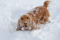 在雪的西班牙猎狗 免版税库存照片