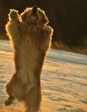 在雪的跳舞狗在NH 免版税库存照片