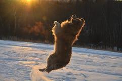 在雪的跳舞狗 免版税库存照片