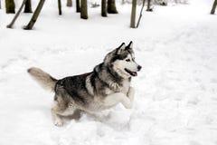 在雪的跳跃的狗 免版税库存照片