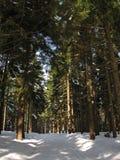 在雪的轨道在冬天森林里 免版税图库摄影