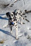 在雪的达尔马希亚狗 库存图片