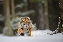 在雪的连续老虎 库存照片