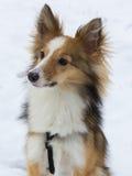 在雪的逗人喜爱的狗画象 免版税库存照片