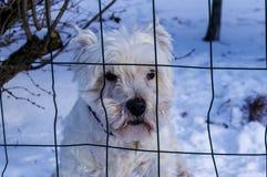 在雪的逗人喜爱的白色狗 免版税库存图片