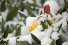 在雪的郁金香 免版税库存图片