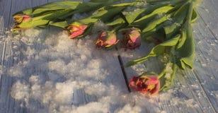 在雪的郁金香 免版税库存照片