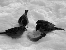 在雪的都市麻雀在黑白图象 免版税图库摄影