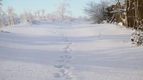 在雪的野兔跟踪 股票视频