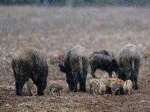 在雪的野猪 免版税库存照片