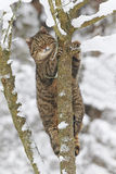 在雪的野猫 库存照片