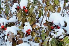 在雪的野玫瑰果 免版税图库摄影
