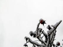 在雪的野玫瑰果 库存照片