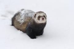 在雪的野生白鼬 免版税库存图片