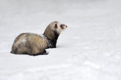 在雪的野生白鼬 库存照片