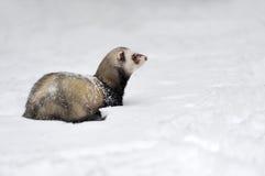 在雪的野生白鼬 免版税库存照片