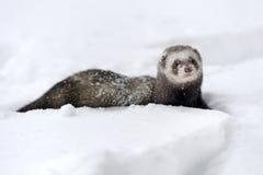 在雪的野生白鼬 库存图片