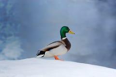 在雪的野鸭鸭子 库存照片