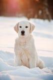 在雪的金毛猎犬小狗 免版税库存图片