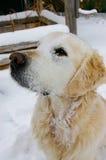 在雪的金毛猎犬狗 图库摄影