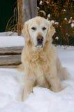 在雪的金毛猎犬狗 库存照片