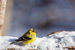 在雪的金翅雀 图库摄影