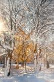 在雪的金黄树在早晨光 免版税库存照片