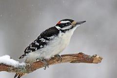 在雪的长毛的啄木鸟 免版税库存照片
