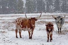 在雪的长的垫铁牛 图库摄影