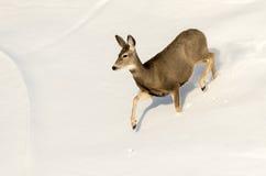 在雪的长耳鹿母鹿在恶地国家公园 免版税库存照片