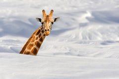 在雪的长颈鹿 免版税库存图片