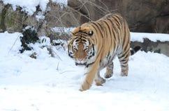在雪的阿穆尔河老虎2013年 库存图片