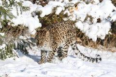在雪的阿穆尔河豹子 库存图片