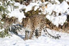在雪的阿穆尔河豹子 免版税库存照片